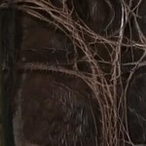 Chocolate Caiman Crocodile Belt with Brushed Nickel Buckle